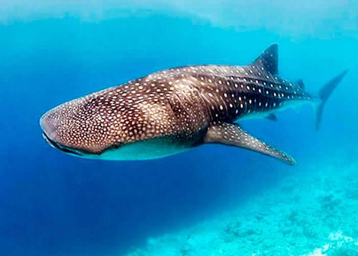swim-with-whale-sharks-cancun