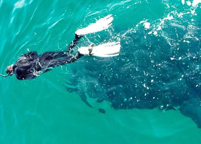 whale-shark-snorkeling-cancun