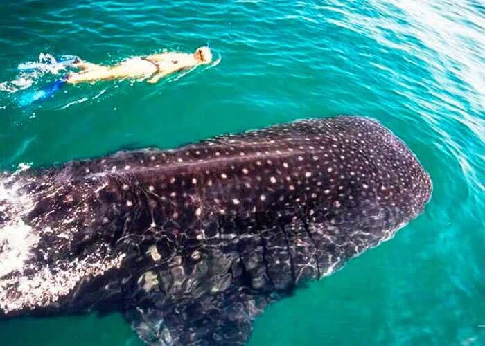 cancun-attractions-swimming-with-whale-sharks
