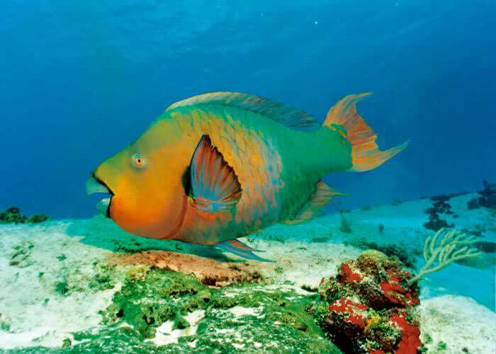 xelha-park-tour-rainbowparrotfish