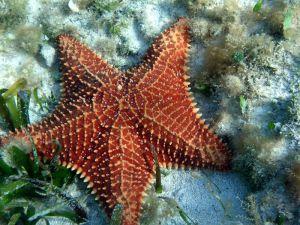 starfish in cozumel reef