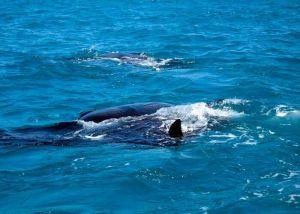 whale sharks fins