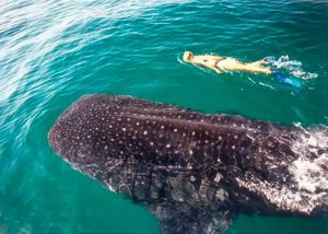 young women swiming with whale shark