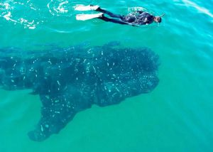 swiming with whale shark
