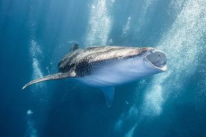 open mouth whale shark