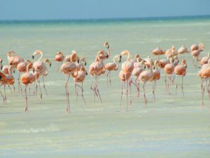 pink flamingos in holbox