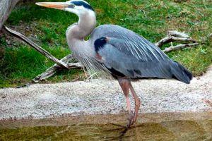 tropical heron